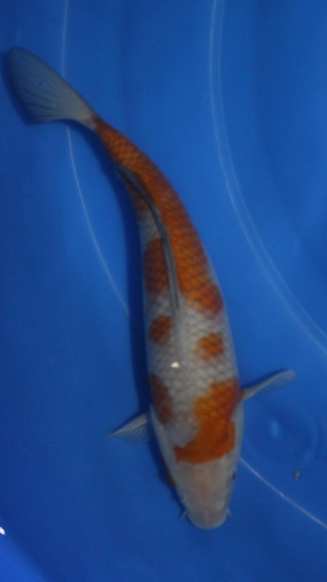 Carpe koi import alsace for Carpe koi tarif